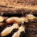 Worker termites in an active colony