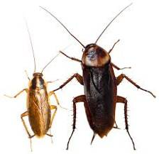 Our cockroach control treatments are effective against Australian and German cockroaches