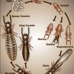 Diagram of white ant life cycle