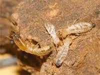 Miller's Pest Control - Termite Control Dead Termites