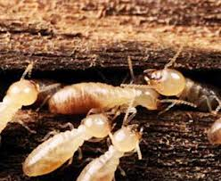 Miller's Pest Control - Young Termites Termite Control